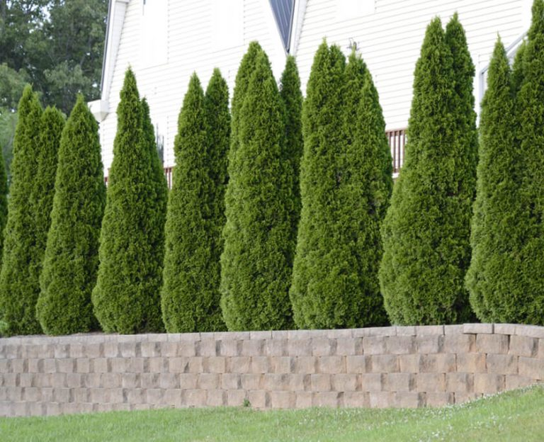 Row of Thuja